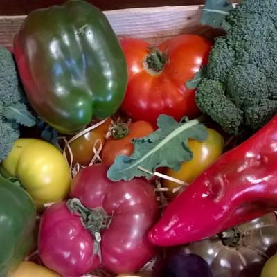 Récolte de légumes de La Taup''Ecologik à Moustéru (22)