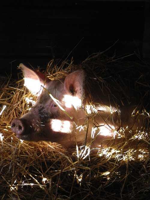 ALAIN SCOUARNEC – Éleveur de bovins et porcs à GURUNHUEL imgp2981