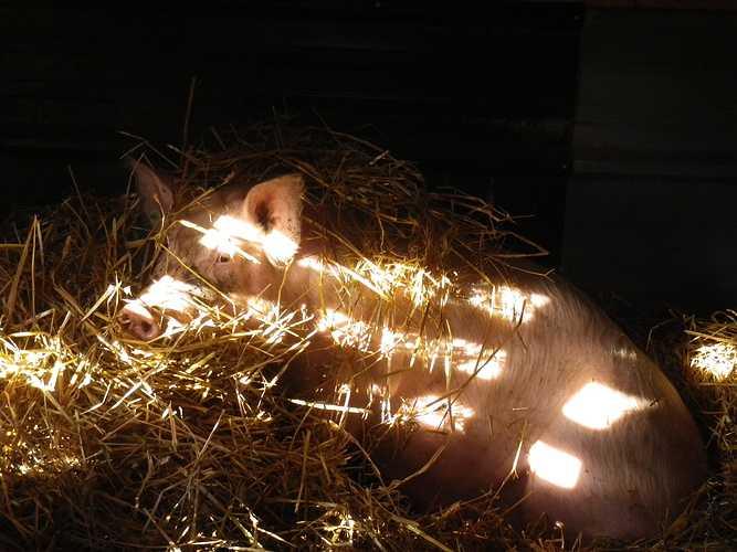 ALAIN SCOUARNEC – Éleveur de bovins et porcs à GURUNHUEL imgp2985