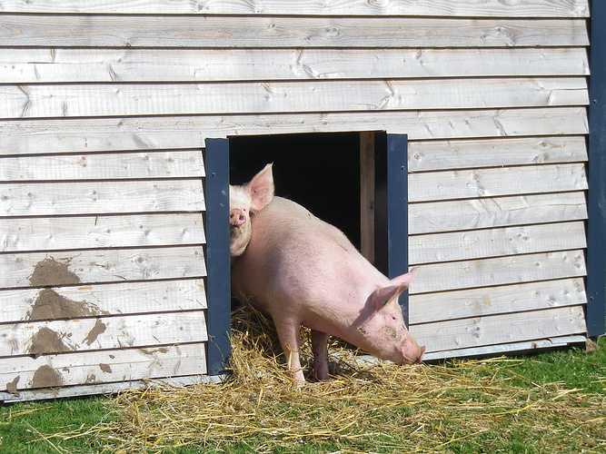 ALAIN SCOUARNEC – Éleveur de bovins et porcs à GURUNHUEL imgp3001