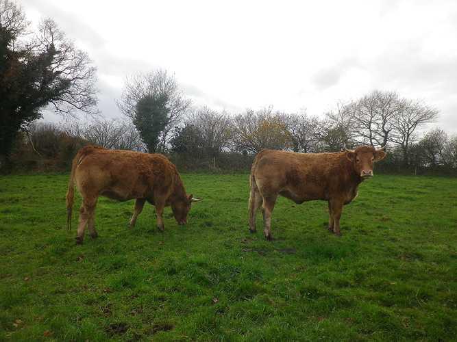 ALAIN SCOUARNEC – Éleveur de bovins et porcs à GURUNHUEL imgp4712