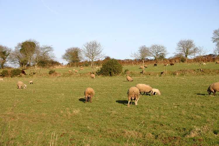 PHILIPPE LE NOHAIC - Eleveur de moutons à LA CHAPELLE NEUVE img8393